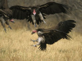 Lappet-Faced Vulture, Three in Air, Fighting Over Food, Botswana
