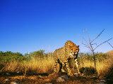 Cheetah, Snarling at Camera, South Africa