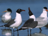 Laughing Gull Courtship Display, Florida, USA