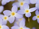 Prostrate Bluets, Great Smoky Mountains National Park, Tennessee, USA