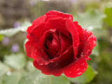 A Close View of a Red Rose with Rain Drops on It