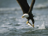 American Bald Eagle in Flight over Water with a Fish in its Talons