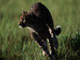 An African Cheetah Running in the Grass