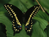 A Close View of a Tiger Swallowtail Butterfly
