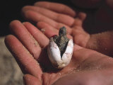Diamondback Terrapin Hatching