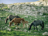 A Group of Wild Horses Graze in the Pryor Mountains