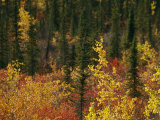 Birch Trees are Yellowed by the Autumn Season