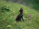 A Vocalizing Arctic Fox in a Field of Wildflowers