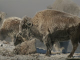 Bison Herd and Young Covered by Snow