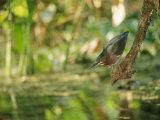 A Green Heron Perched on a Branch