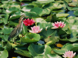 A Green-Backed Heron Sits on a Large Grouping of Lily Pads