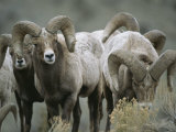 A Group of Bighorn Sheep Rams