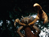 A Crab Perched on a Tree Branch Holds One of its Pincers at the Camera
