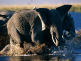Herd of African Elephants Splashing Through the Water