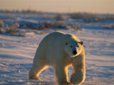 A Polar Bear (Ursus Maritimus) Walks Across the Snowy Plain