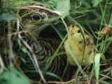 An Attwaters Prairie Chicken and Her Chick