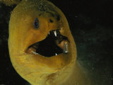 A Close View of a Green Moray Eel