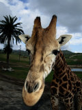 A Giraffe Posing for its Portrait at the San Diego Wild Animal Park