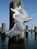 A Herring Gull Flies Among Weathered Pilings