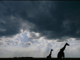 Silhouette of a Female Reticulated Giraffe and Her Young