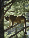 Backlit Mountain Lion Stands on a Pine Branch