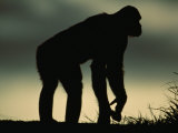 Silhouetted Bonobo