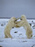 A Pair of Polar Bears Play Fight