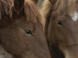 Close View of the Faces of Two Brown Horses