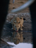 A Lioness Drinks from a Pool of Water