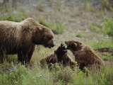 A Mother Grizzly Bear Watches as Her Two Cubs Play