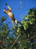 A Proboscis Monkey, Nasalis Larvatus, Leaps from Tree to Tree