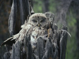 A Great Gray Owl and Owlet in Their Nest, a Rotting Tree Stump