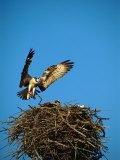 Osprey over Nest, Muritz National Park, Germany
