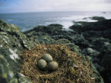 Glaucous-Winged Gull Nest with Three Eggs on Rock