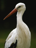 A Portrait of a European White Stork