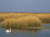 Mute Swan Swims Amongst Reeds in the Boddenland