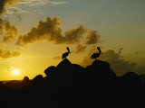 Two Pelicans Perched on Rocks are Silhouetted against a Sunset Sky