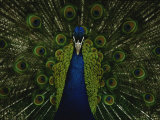 A Male Peacock Displays His Plumage