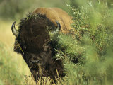 A Close-up View of an American Bison Covered with Grass