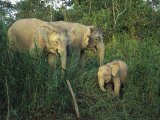 A Juvenile Asian Elephant with Two Adults in Tall Grasses