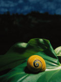 A Polymita or Painted Snail Rests on a Large Leaf