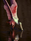 A Roseate Spoonbill Stretches its Wings as it Forages for Food