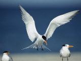 Royal Tern Descending in Flight