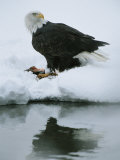 An American Bald Eagle Feeds on a Fish