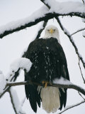 An American Bald Eagle Perched in a Snow-Covered Tree