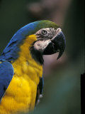 Endangered Blue and Gold Macaw, Costa Rica