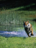 Bengal Tiger Running Out of the Water