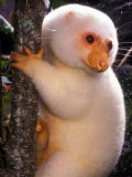 A Cuscus Clinging to a Tree Trunk
