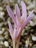 Colchicum Corsicum, October