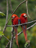 Pair of Scarlet Macaws (Ara Macao) Perched Side by Side on Branch